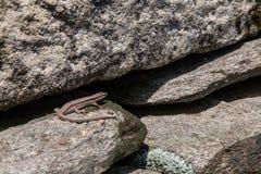 Σαύρα στην πέτρα το καλοκαίρι στοκ φωτογραφία