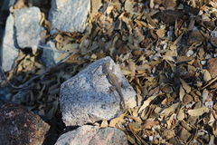 Σαύρα στο βράχο Στοκ εικόνα με δικαίωμα ελεύθερης χρήσης