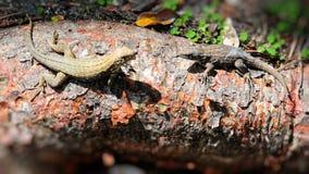 Σαύρα Anole (polychrotidae) Στοκ Φωτογραφία