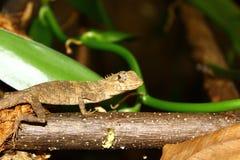 Σαύρα calotes versicolor, Σρι Λάνκα Στοκ Εικόνες