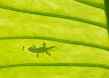 σαύρα gecko Στοκ φωτογραφίες με δικαίωμα ελεύθερης χρήσης