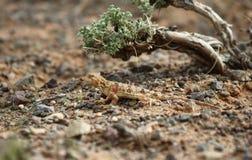 Σαύρα gobi της ερήμου και του μικροσκοπικού δέντρου Στοκ φωτογραφία με δικαίωμα ελεύθερης χρήσης