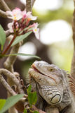 Σαύρα Iguana που αναρριχείται σε ένα δέντρο στο άγριο, έρπον ζώο Στοκ Εικόνα