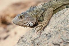 Σαύρα Iguana στους βράχους στοκ εικόνα με δικαίωμα ελεύθερης χρήσης