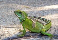 σαύρα iguana Στοκ Εικόνες