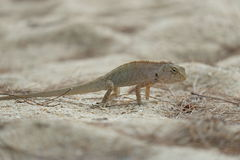 Σαύρα, Iguana Στοκ Εικόνα