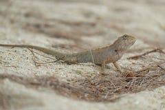 Σαύρα, Iguana Στοκ Φωτογραφία