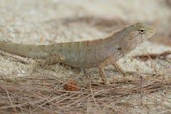 Σαύρα, Iguana Στοκ φωτογραφία με δικαίωμα ελεύθερης χρήσης
