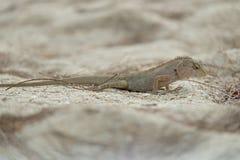 Σαύρα, Iguana Στοκ Εικόνες