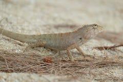 Σαύρα, Iguana Στοκ Φωτογραφίες