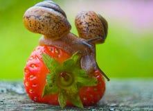 Σαλιγκάρια κήπων. Στοκ εικόνες με δικαίωμα ελεύθερης χρήσης