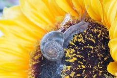 Σαλιγκάρια κήπων Στοκ Εικόνες