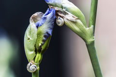 Σαλιγκάρια που αναρριχούνται στους οφθαλμούς εγκαταστάσεων ίριδων Στοκ Φωτογραφίες