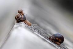 Σαλιγκάρια Στοκ Εικόνα