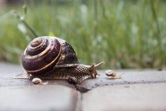 Σαλιγκάρι κήπων με το μικρό σαλιγκάρι Στοκ Φωτογραφίες