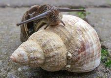 Σαλιγκάρι και το κοχύλι θάλασσας στοκ φωτογραφία με δικαίωμα ελεύθερης χρήσης