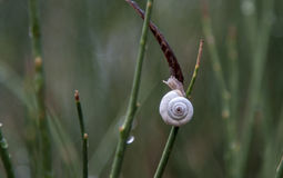 Σαλιγκάρι με ένα άσπρο κοχύλι Στοκ φωτογραφία με δικαίωμα ελεύθερης χρήσης
