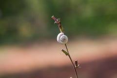 Σαλιγκάρι με ένα άσπρο κοχύλι Στοκ Φωτογραφία