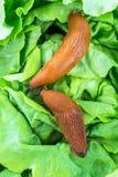 Σαλιγκάρι με το φύλλο μαρουλιού στοκ εικόνα με δικαίωμα ελεύθερης χρήσης