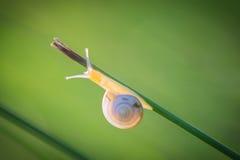 Σαλιγκάρι που αναρριχείται σε μια πράσινη λεπίδα χλόης Στοκ Εικόνες
