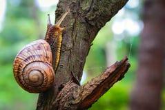 Σαλιγκάρι που γλιστρά στο ξύλο μια βροχερή ημέρα Πολύ σύντομο βάθος της εστίασης Λατινικό όνομα: Arbustorum Arianta Στοκ Φωτογραφία