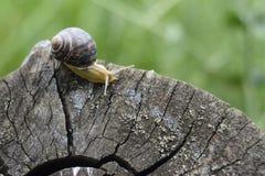 Σαλιγκάρι που σέρνεται στην κοπή δέντρων Στοκ φωτογραφία με δικαίωμα ελεύθερης χρήσης