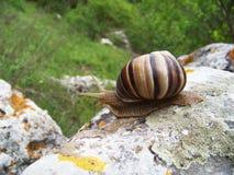 Σαλιγκάρι που σέρνεται στην πέτρα Στοκ εικόνα με δικαίωμα ελεύθερης χρήσης