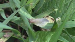 Σαλιγκάρι που σέρνεται στην πράσινη χλόη απόθεμα βίντεο