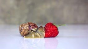 Σαλιγκάρι που σέρνεται στις φράουλες απόθεμα βίντεο