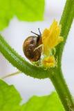 Σαλιγκάρι που σέρνεται στο κίτρινο λουλούδι Στοκ φωτογραφία με δικαίωμα ελεύθερης χρήσης