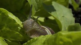 Σαλιγκάρι που τρώει τη σαλάτα στο αυξημένο κρεβάτι απόθεμα βίντεο