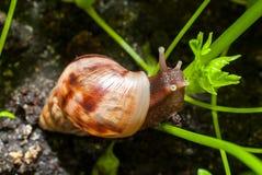 Σαλιγκάρι που τρώει τους νέους βλαστούς στον κήπο Στοκ φωτογραφία με δικαίωμα ελεύθερης χρήσης