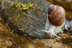 Σαλιγκάρι σε μια πέτρα Στοκ Εικόνα
