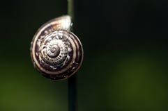 Σαλιγκάρι στη λεπίδα της χλόης Στοκ Εικόνα