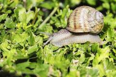 Σαλιγκάρι στον πράσινο θάμνο στοκ φωτογραφίες