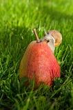 Σαλιγκάρι στο θερινό κήπο στο αχλάδι που κάθεται Στοκ Εικόνα