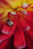 Σαλιγκάρι στο λουλούδι νταλιών Στοκ εικόνες με δικαίωμα ελεύθερης χρήσης
