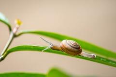 Σαλιγκάρι στο πράσινο φύλλο στοκ εικόνες