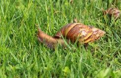 Σαλιγκάρι στο δροσοσκέπαστο grass Στοκ Εικόνες