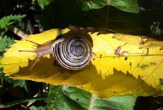 Σαλιγκάρι στο φύλλο στοκ εικόνες με δικαίωμα ελεύθερης χρήσης