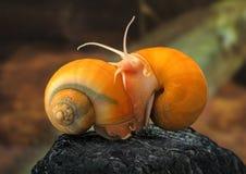 Σαλιγκάρι Ampulyarii στοκ φωτογραφίες