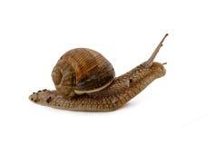 Σαλιγκάρι Grawling που απομονώνεται Στοκ εικόνες με δικαίωμα ελεύθερης χρήσης