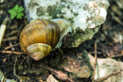 Σαλιγκαριών ζωικός μικρός βράχος Resti πλασμάτων φύσης πατωμάτων της Shell δασικός Στοκ Φωτογραφίες