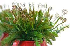 Σγουρά φύλλα της φτέρης στο κόκκινο κεραμικό βάζο Στοκ Εικόνα