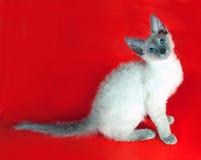 Σγουρή συνεδρίαση Rex γατακιών Cornish στο κόκκινο Στοκ φωτογραφία με δικαίωμα ελεύθερης χρήσης