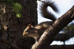 Σγουρός παρακολουθημένος σκίουρος Στοκ Φωτογραφίες