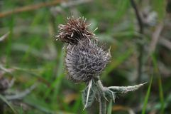 Σγουρός Plumeless κάρδος Crispus Carduus ή κάρδος Welted Στοκ Φωτογραφία