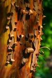 σγουρό δέντρο φλοιών στοκ φωτογραφίες