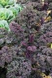 Σγουρό κατσαρό λάχανο Στοκ Εικόνες
