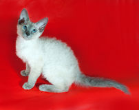 Σγουρό Cornish γατάκι Rex με τα μπλε μάτια που κάθονται στο κόκκινο Στοκ Εικόνες